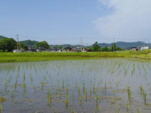 初夏の田んぼ
