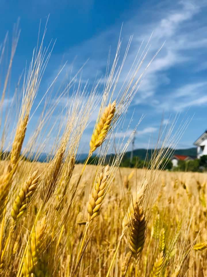 ビールの原料となるエンマー小麦