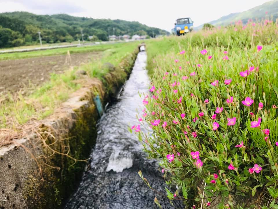 田んぼの畔に咲く野の花