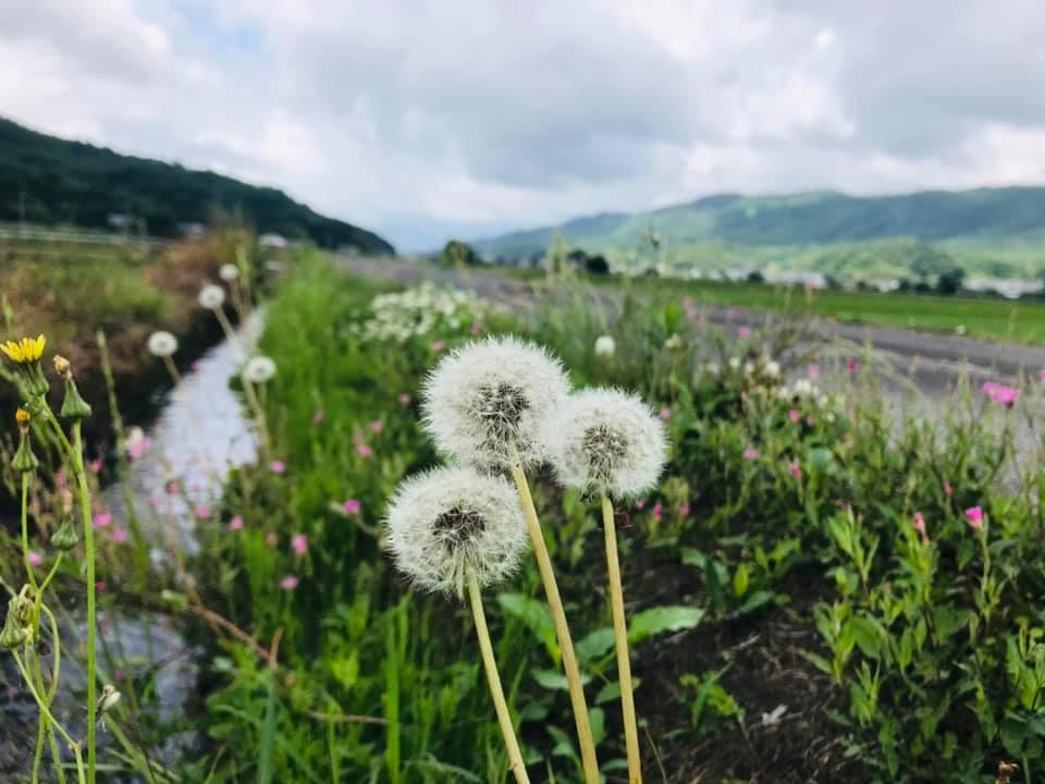 田んぼの畔に咲くタンポポの綿毛