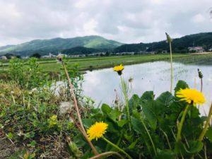 田んぼと畔に咲くたんぽぽ