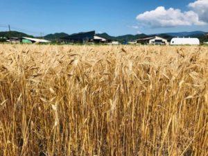 エンマー小麦