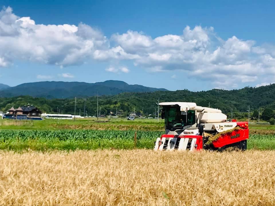 エンマー小麦の麦刈り
