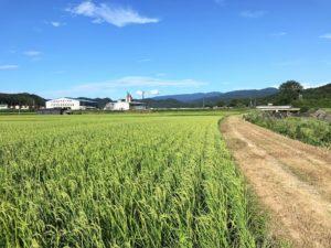 コシヒカリの出穂|鳥取県八頭町田中農場