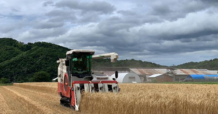 黄桜ホワイトナイルに使用されているエンマ―小麦収穫風景