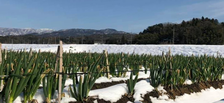 白ネギの甘みは冬が深まるにつれて雪の下でどんどん甘く柔らかくなっていきます♫