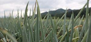田中農場の白ねぎ畑