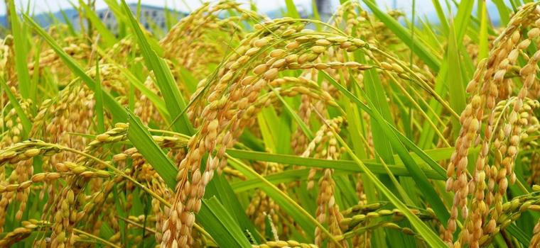 いいお米ができたなと思う時の基準は、よく黄金色の穂、と表現されるように、輝くような明るい時の穂の時で、その穂の状態をみると、精米してみなくても今年はいいお米ができた!と感じられ、逆にくすんだ色の時は出来にあまり期待ができません。