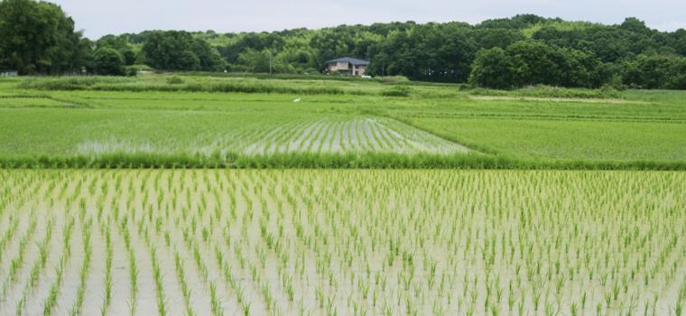 よいお米をつくるには、よい種をつくる、まずはそこから始まります。