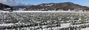 最強寒波の極寒の中育つ鳥取・田中農場の極寒越冬白ねぎ