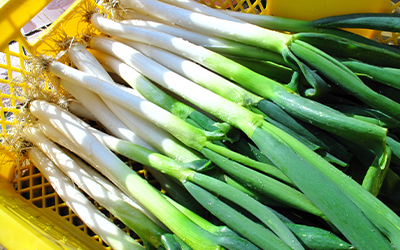 白ネギと青ネギの中間タイプで白ネギとは違った香り、甘さ、柔らかさが特徴的 岩津ネギ