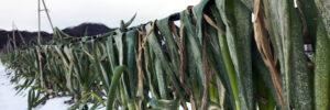 最強寒波のなか寒さに耐え育つ極寒越冬白ねぎの畑