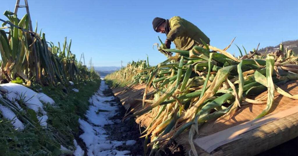 雪の下で最強寒波(マイナス9度以下)の強い寒さに耐え、甘さのピークを迎えた「極寒越冬白ねぎ」を収穫するようす