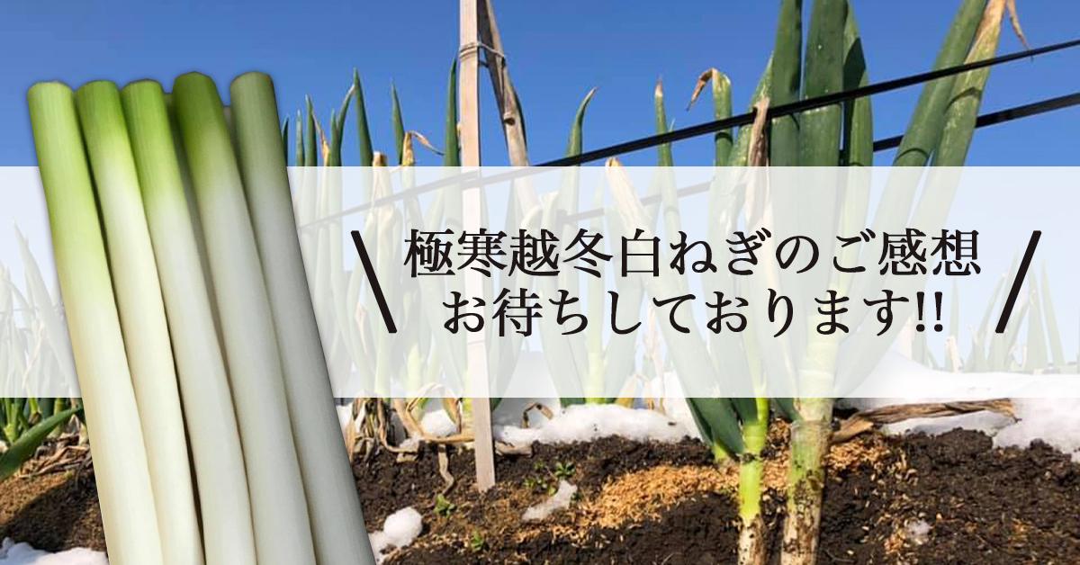 鳥取・田中農場の雪の下で最強寒波(マイナス9度以下)の強い寒さに耐え、甘さのピークを迎えた「極寒越冬白ねぎ」ご感想お待ちしております!