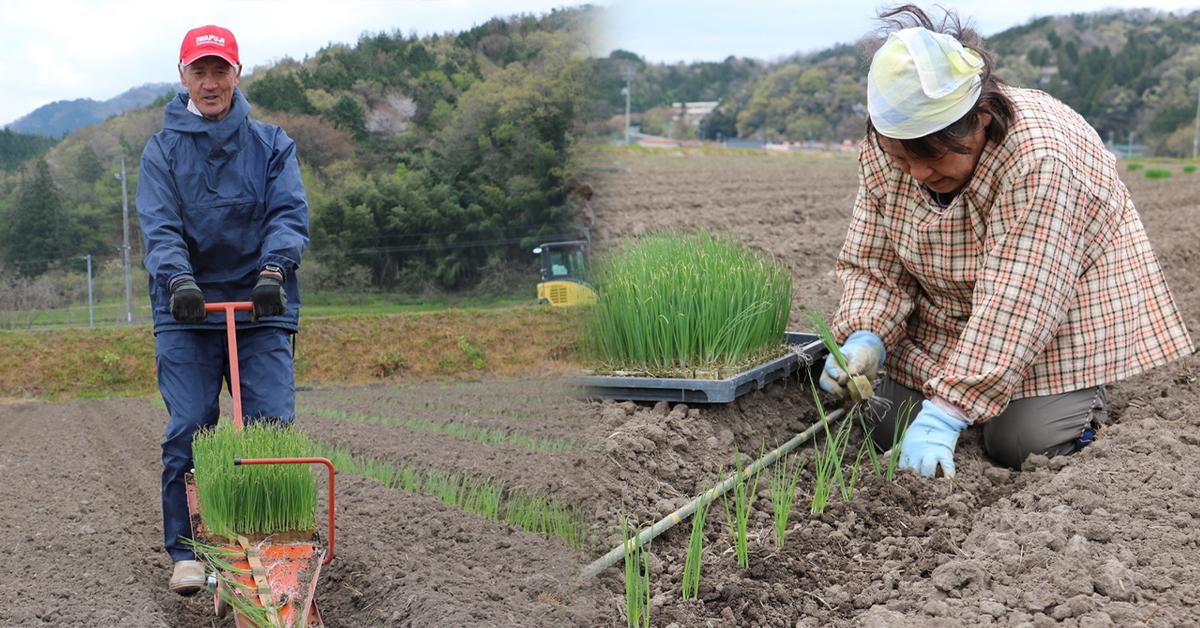 鳥取・田中農場の白ねぎの定植をひっぱりくん・手植えで作業している様子