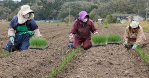鳥取・田中農場の白ねぎの定植を手植えで作業している様子