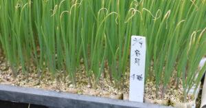 鳥取・田中農場の育った白ねぎの苗 4粒